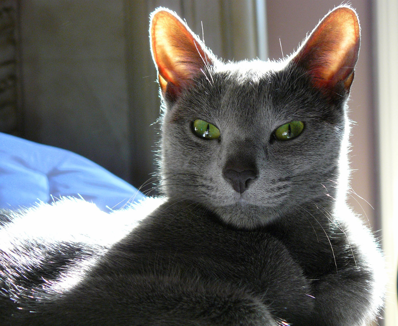 Russian Blue Information