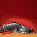 Russian Blue information and facts