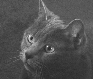 Russian blue history
