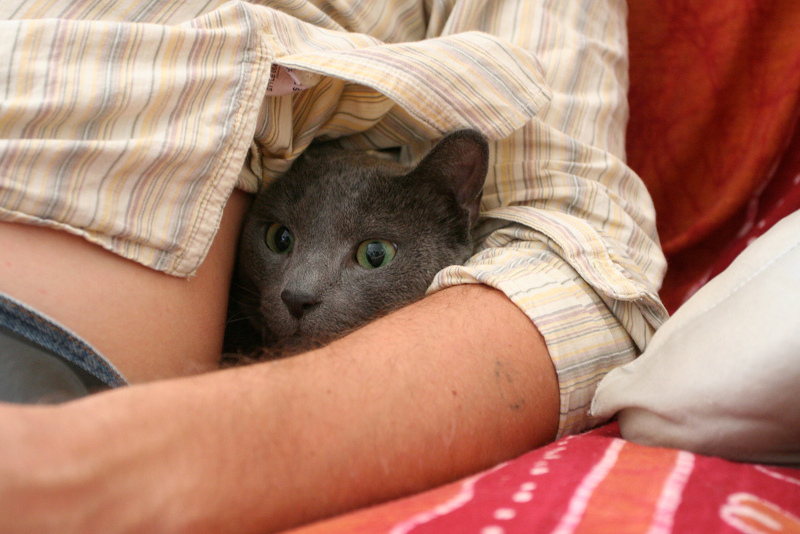 Russian blue reserved temperament