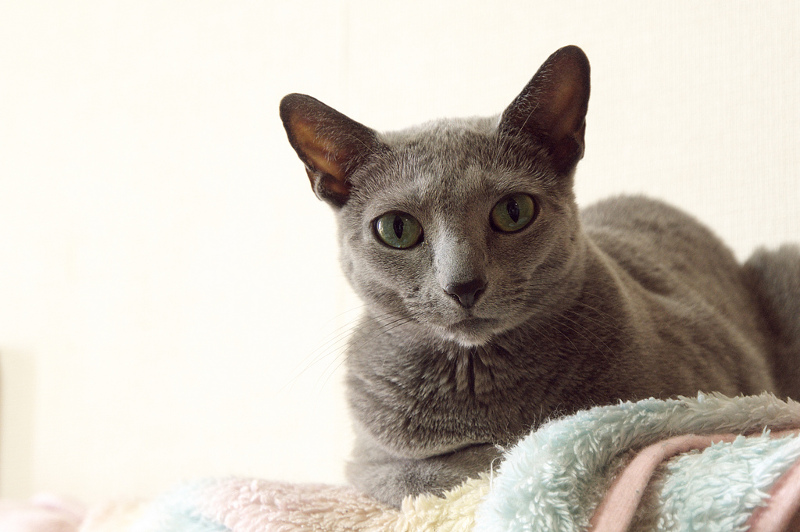 Russian Blue Facts