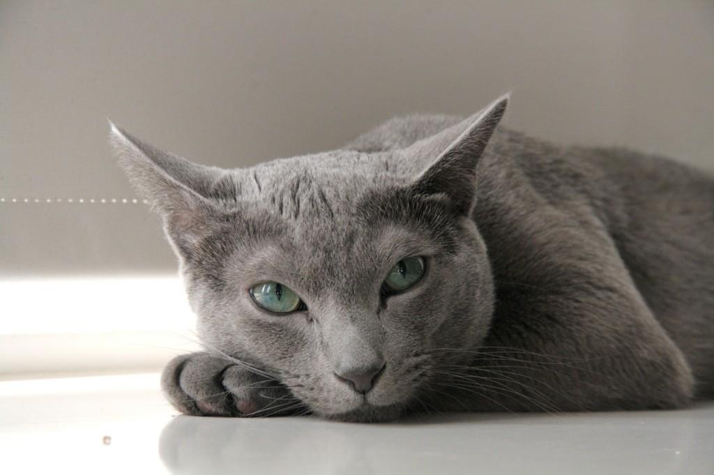 Russian Blue Cat Breed Temperament