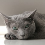 Russian Blue temperament and personality