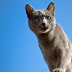 Russian Blue Life Expectancy
