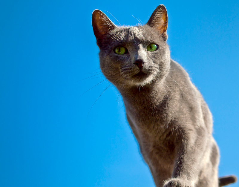 Russian-Blue-Life-Expectancy