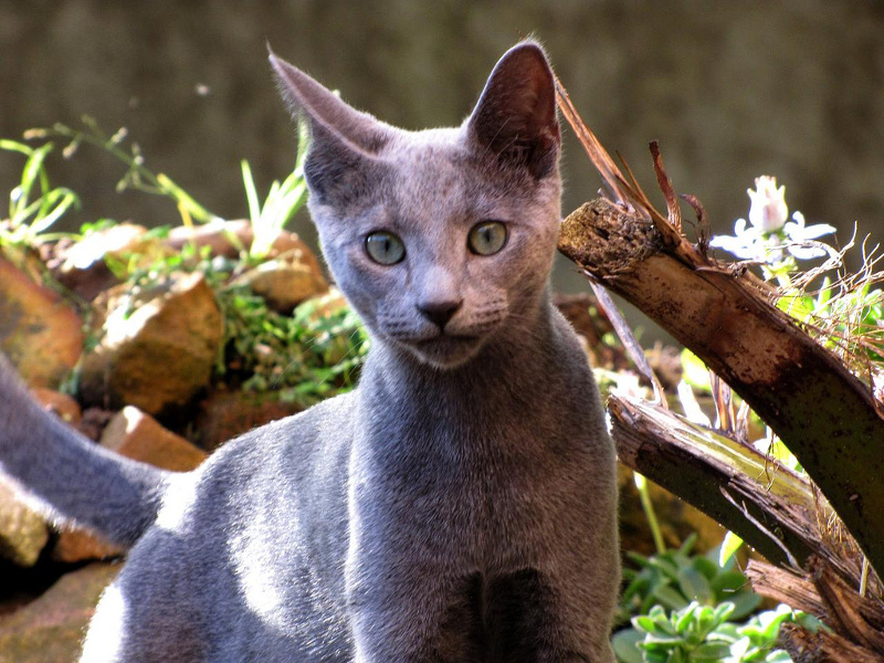 Russian Blue Lifespan