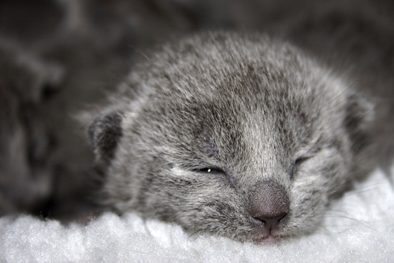 Russian blue kittens cost: kitten picture