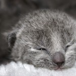 Russian Blue cat price: how much do russian blue kittens cost