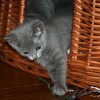 Naming Russian Blue Kittens
