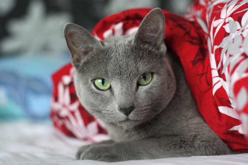 RUSSIAN BLUE ALLERGIES