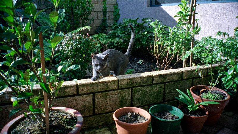 Russian blue outdoors